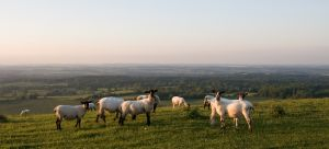 Sheep grazing on a hill at sunset